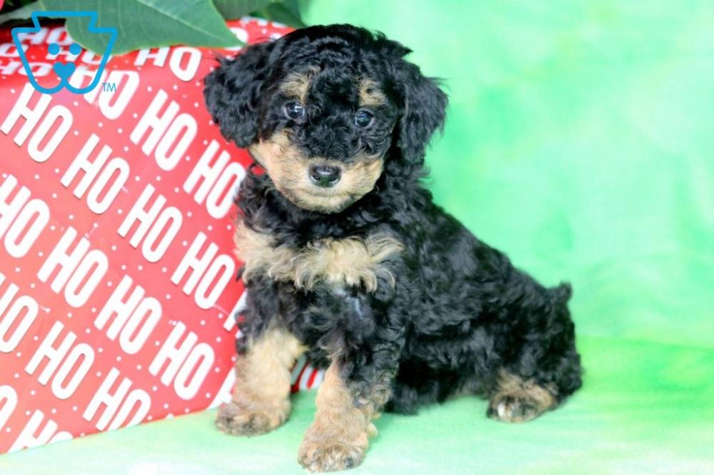 Buttons Yorkiepoo Puppy For Sale Keystone Puppies Yorkie Poo Puppies For Sale Yorkie Poo Puppies