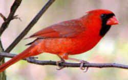 Illinois State Bird Northern Cardinal State Birds Northern Cardinal Bird
