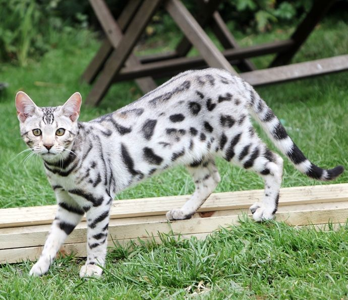 Snow Marble Bengal (With images) Bengal cat, Silver
