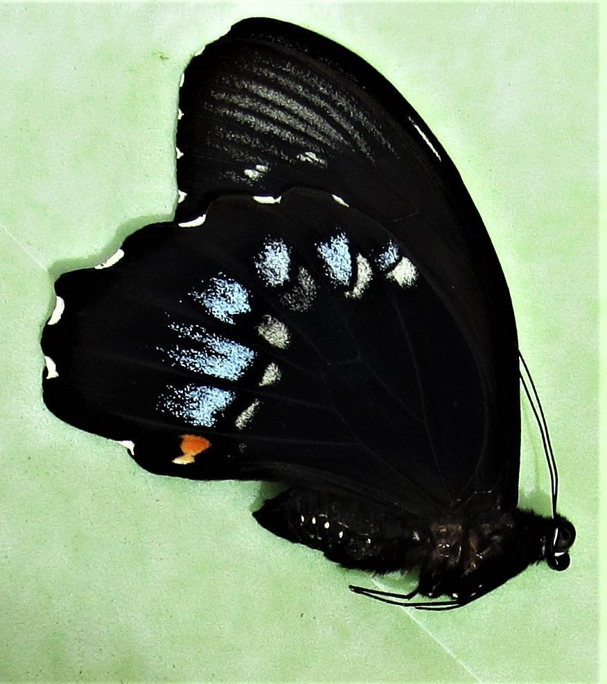 Lot of 10 Swallowtail Butterfly Papilio albinus Male Folded FAST FROM USA