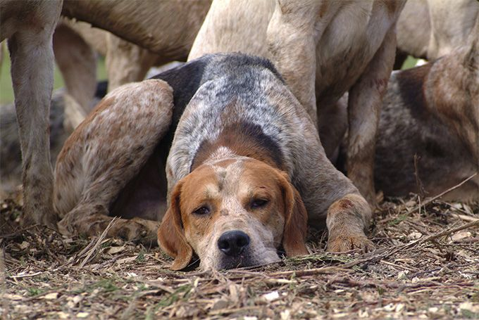 English Foxhound Dog Breed Information Pictures Characteristics
