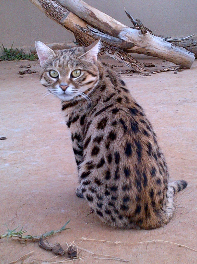 A Fearful Spotted Wildcat At Zanchieta Guest Farm In The Heart Of Africa Center Of Wildlife Know Everything About Wild Cats Cat Farm Puppies And Kitties