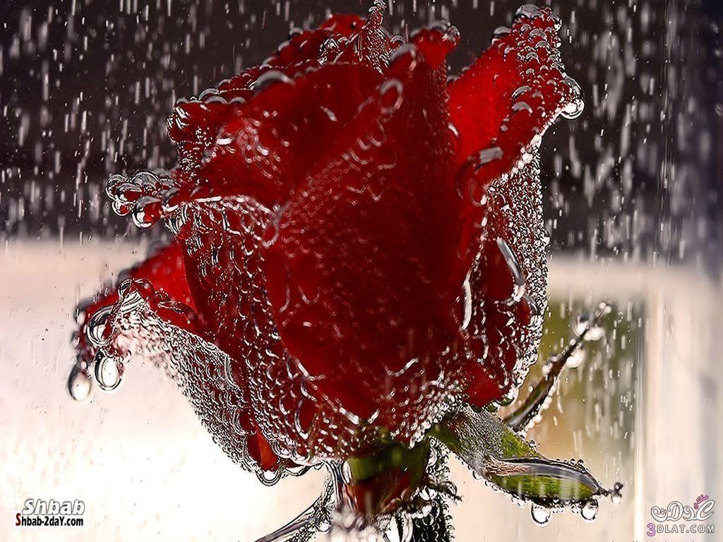 صور ورد احمر اجمل خلفيات الورد الطبيعي ورود حمراء جميلة Flower Wallpaper Red Rose Flower Lovers Art