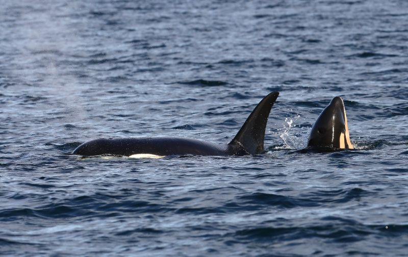 The seventh calf born into the endangered Southern Resident killer whale population in the last 12 months was confirmed yesterday.