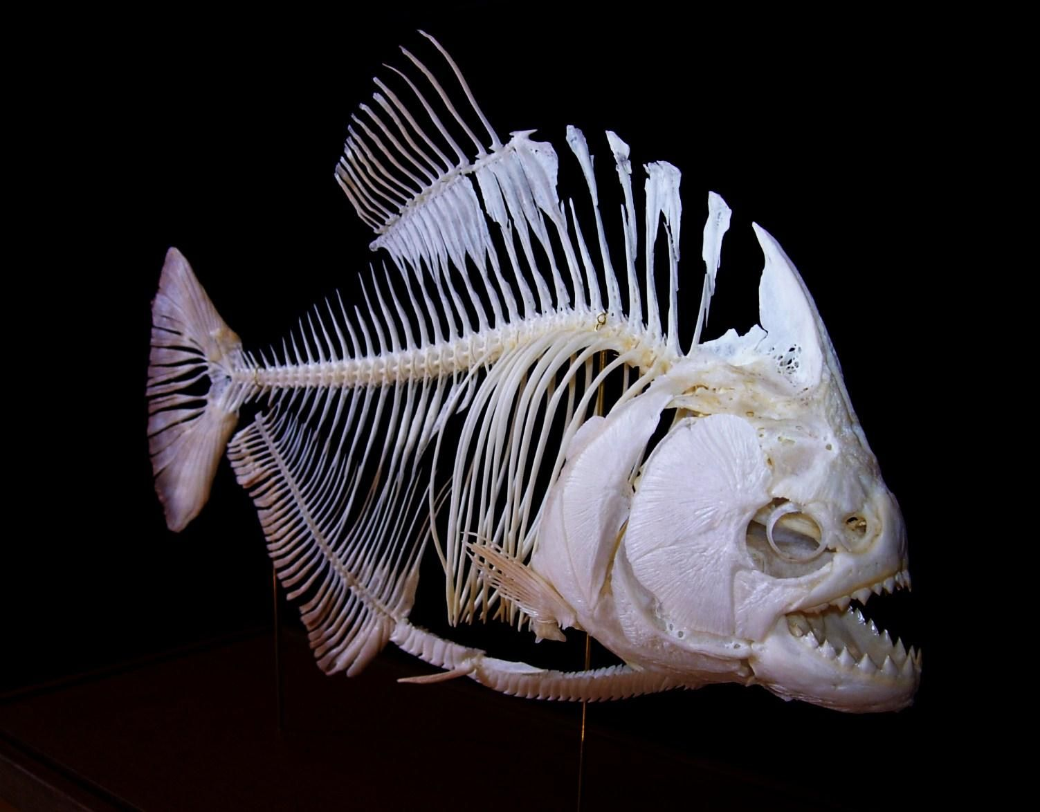 Скелет рыбы фото