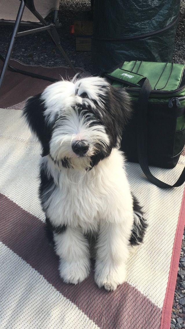 Tibetan Terrier 💕love him Tibetan terrier, Terrier dog