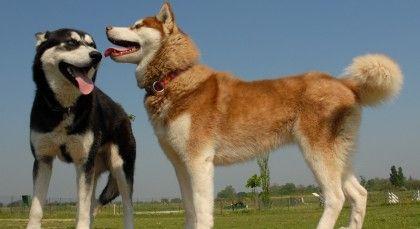 Pin On Huskies And Malamutes