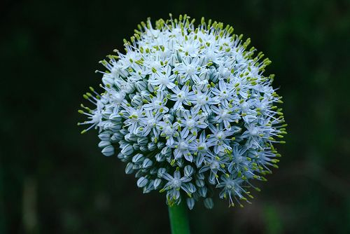 ombelle d 39 oignon pour obtenir une fleur d 39 oignon planter. Black Bedroom Furniture Sets. Home Design Ideas
