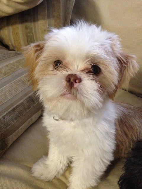 Shih Tzu Puppy Ugh I Love Those Lips Shih Tzu Puppy Shih Tzu