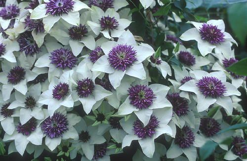 How To Take Cuttings From Clematis Growing Hydrangeas Clematis Plant Cuttings