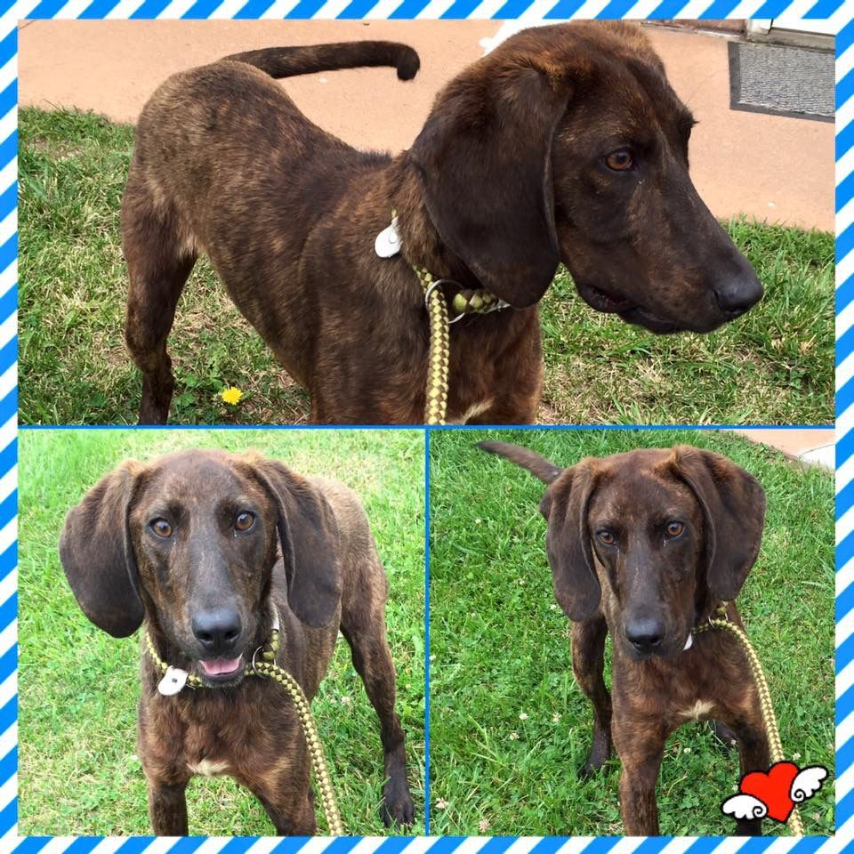 Buckhannon Wv 6 Month Old 22 Lbs M Plott Pup Named Eli Lewis Upshur Animal Control Http Www Upshuranimalcontrol Org Ado Animal Control Animals Coonhound