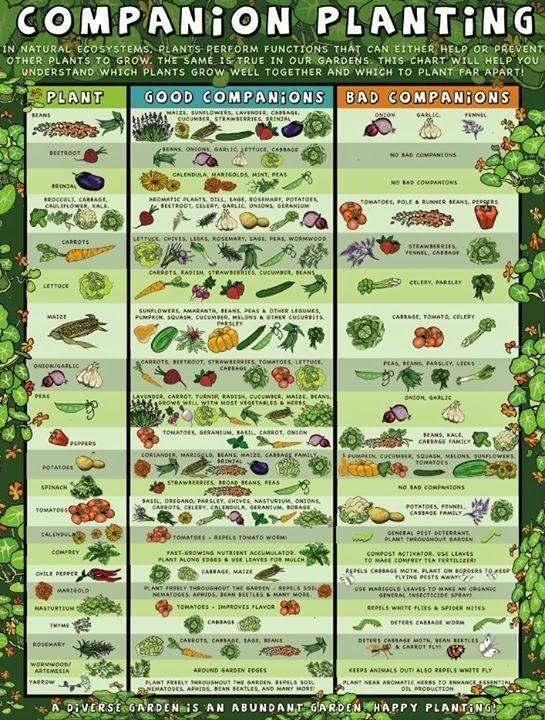 Merveilleux Companion Planting: Which Plants Work Well With Each Other And Which Dont. Vegetables  GardenVegetable ...