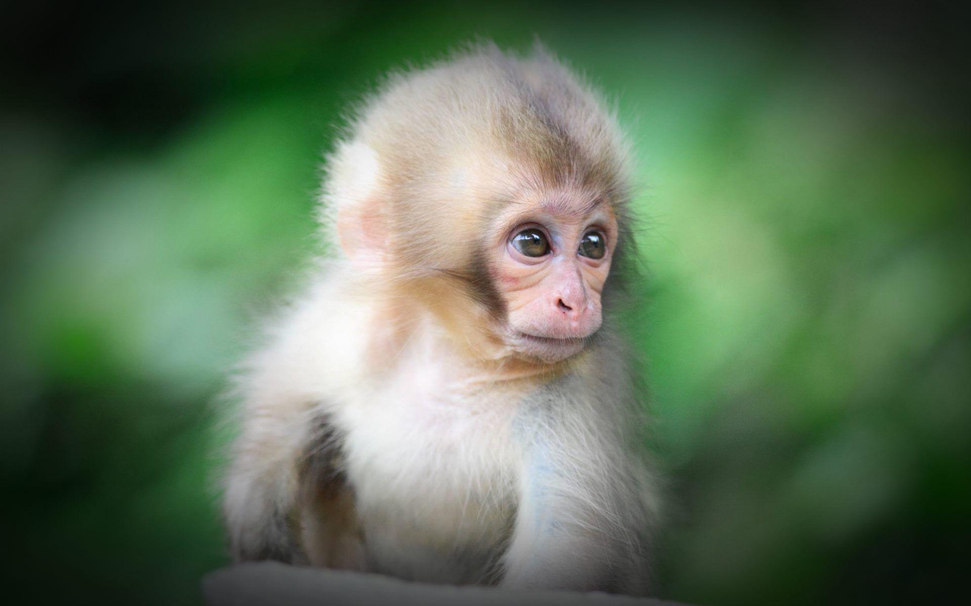 Cute Baby Monkey Wallpaper