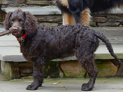 American Water Spaniel Pictures and Images | American ...
