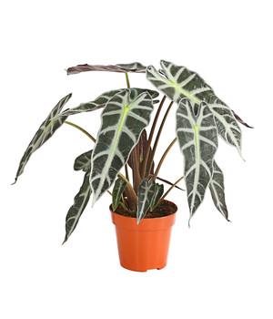 Dehner Ihr Online Shop Fur Garten Pflanzen Balkon Tiere Pflanzen Zimmerpflanzen Tropen