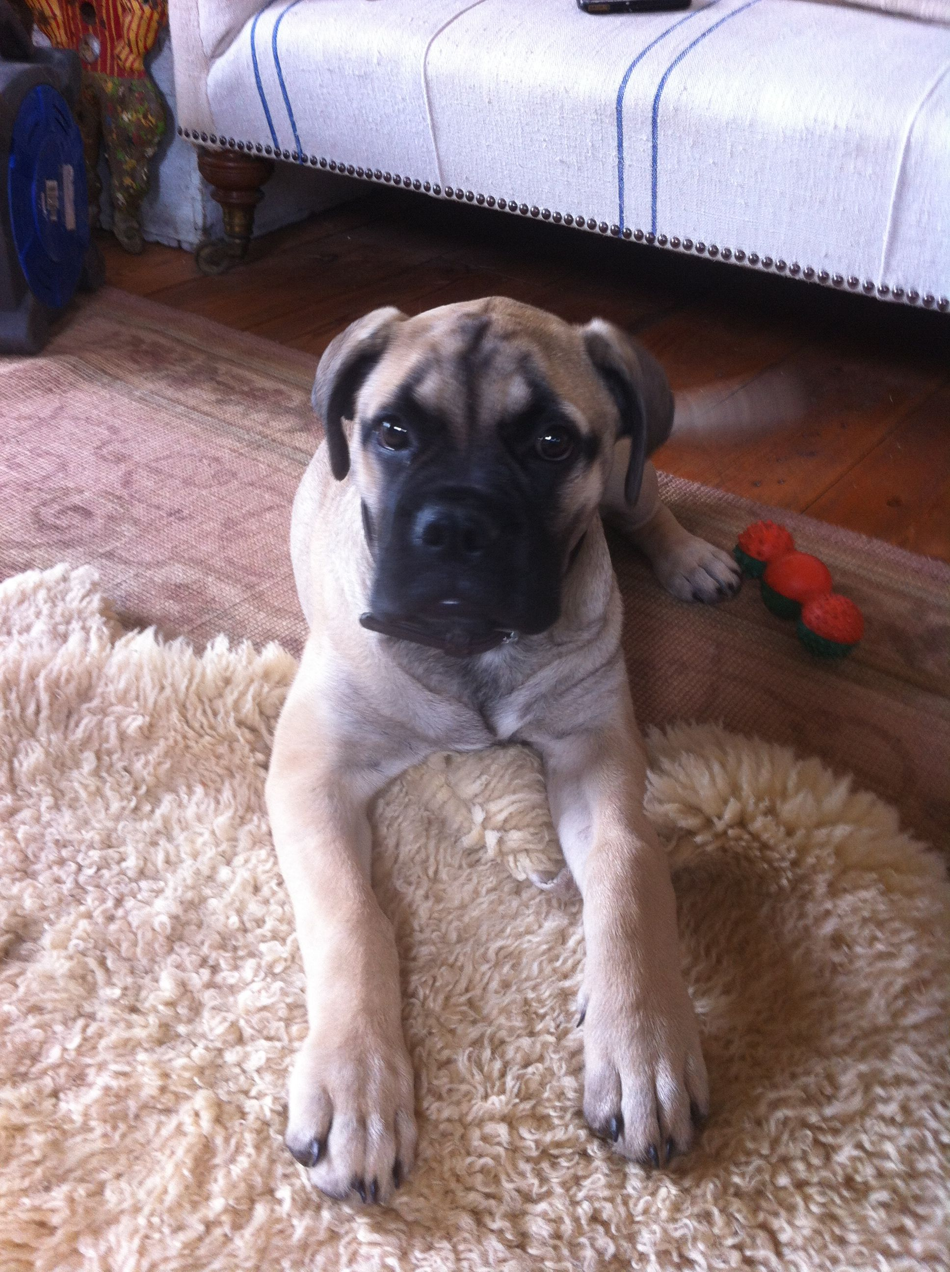 Baba the mastiff on holiday with us at 15 weeks old