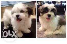 Lhasa Apso Puppy Championline Pet Lovers Lhasa Apso Puppies