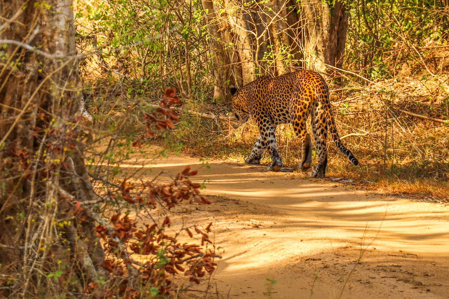 Leopard I Yala National Park Sri Lanka National Parks Park Yala