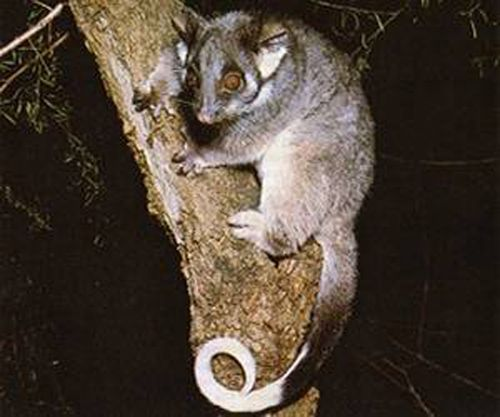 Common Ringtail Possum Gray Pinterest Australian Animals