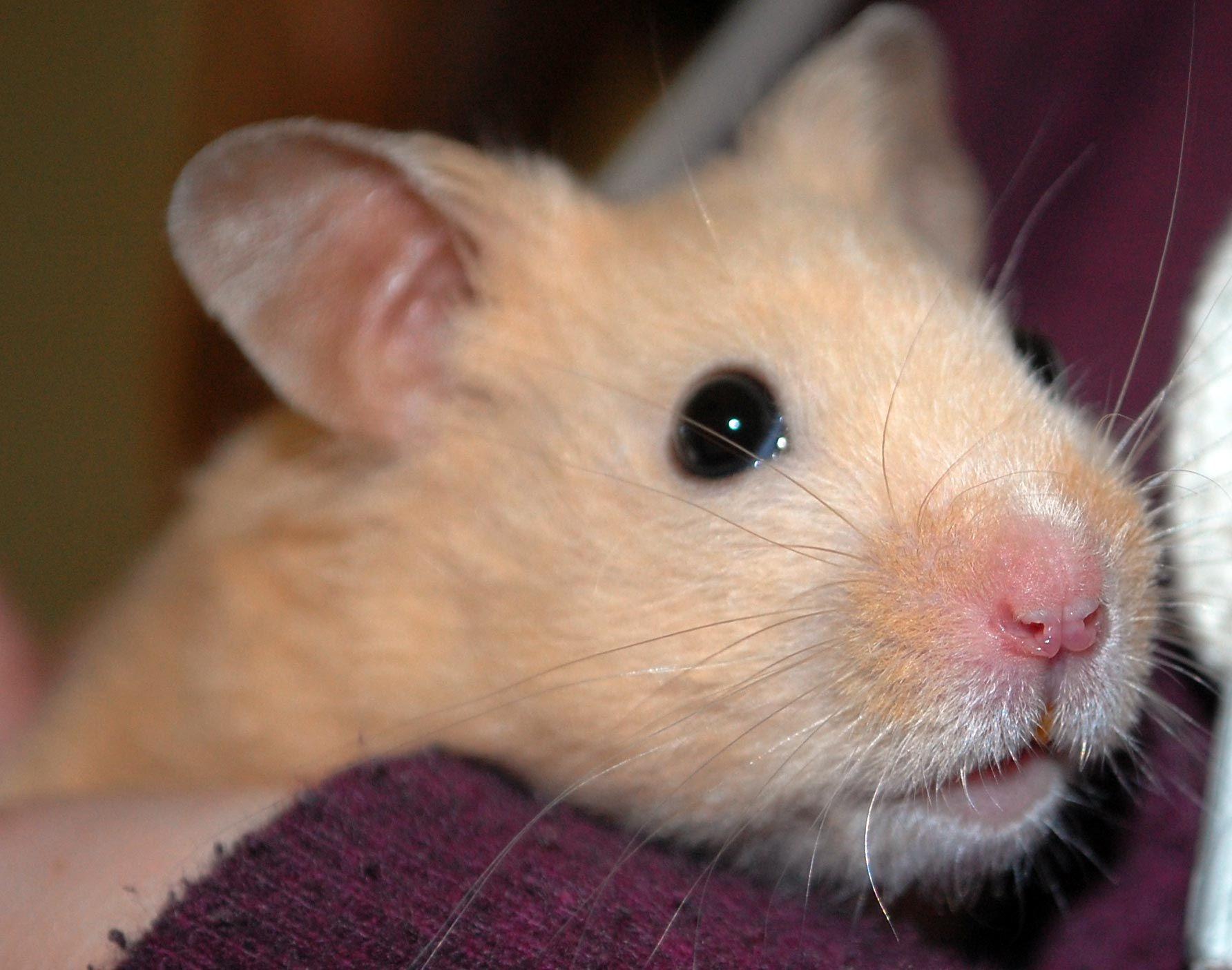 Male Syrian Hamster So Cute Bear Hamster Hamster Cute Hamsters