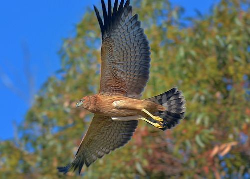 Spotted Harrier, Circus assimilis, recently fledged