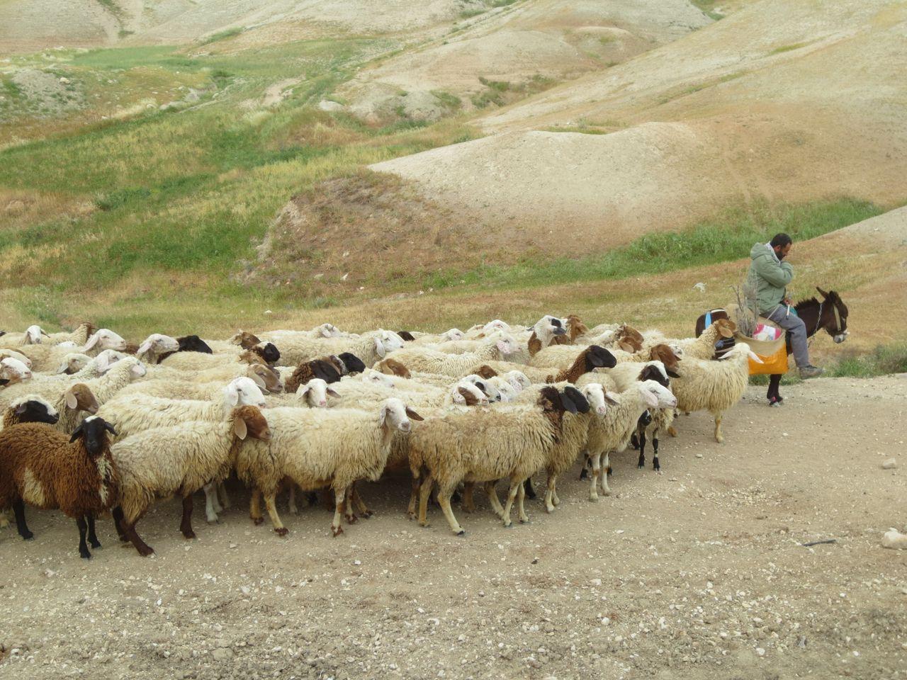 Sheep of biblical Isreal | Sheep Israel