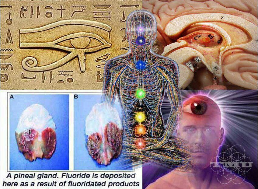 Pineal gland= eye of Horus = location of 3rd eye chakra