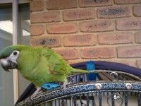 Lost Bird Green Parrot Cranbourne Nth Vic 3977 Birds Parrot Cranbourne