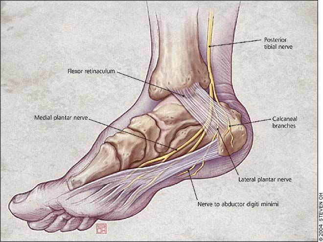 Medial View Of The Ankle Illustrating The Course Of The Posterior