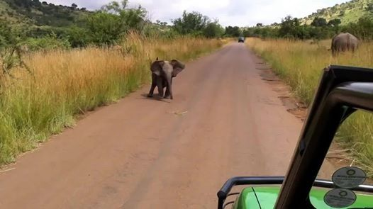 Here are two recent videos of two of our favourite baby animals mock charging safari vehicles.
