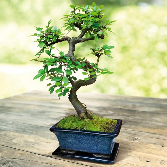 Image result for bonsai tree