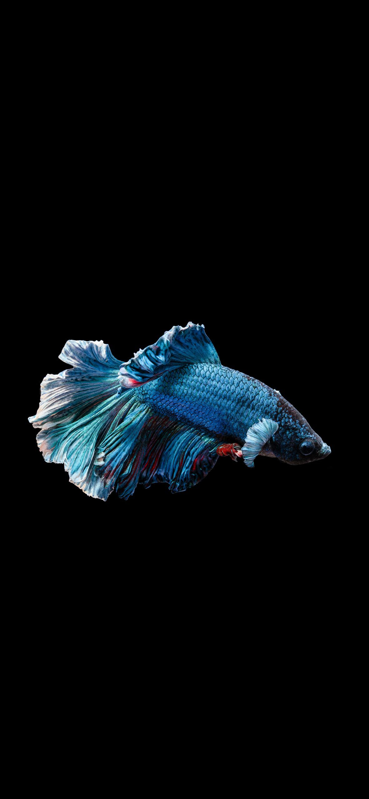 Betta fish at night Amoled Wallpaper Animal wallpaper