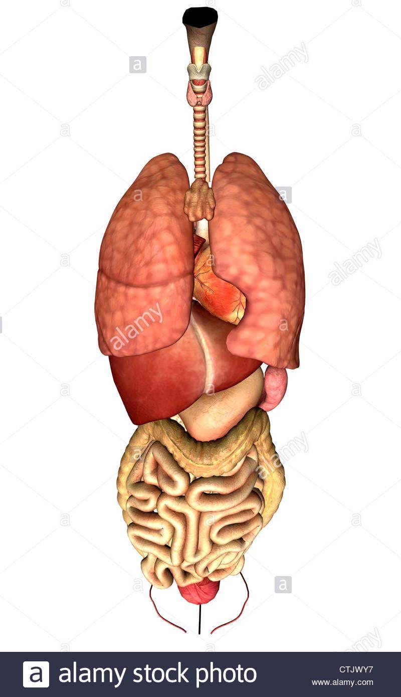 Human Anatomy Liver Human Anatomy Study Lung Anatomy Human
