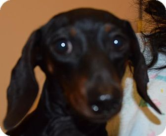 Pictures Of Lisa Doxy A Dachshund For Adoption In Seattle Wa Who