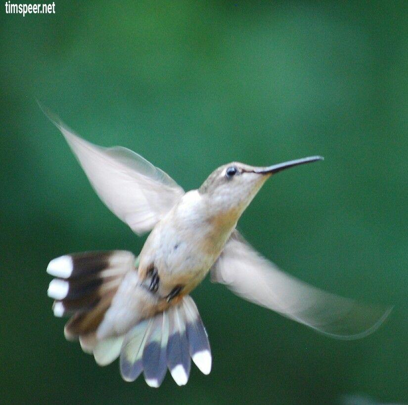 Female ruby throated hummingbird missouri beautiful