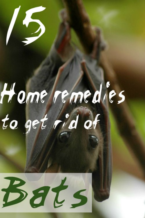 Home Remedy Hacks Getting Rid Of Bats Home Remedies Cold Home Remedies