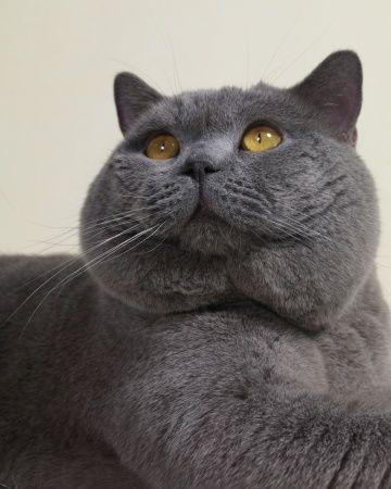 Meow Mix Кот, Британцы