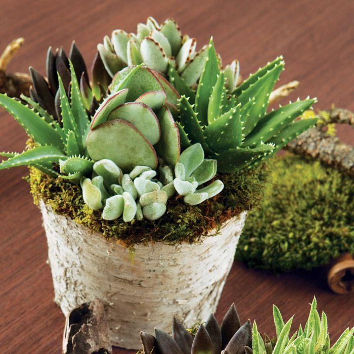 Decoracion suculentas combinadas en una maceta cielaria for Decoracion jardin macetas