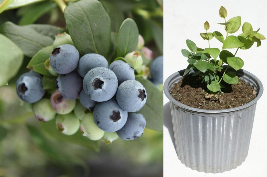 Plantas del arandano azul venta arboles frutales for Vivero de plantas exoticas
