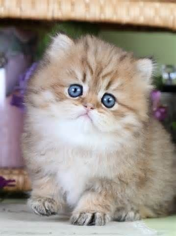 Chinchilla Golden Teacup Persian Kitten Teacup cats