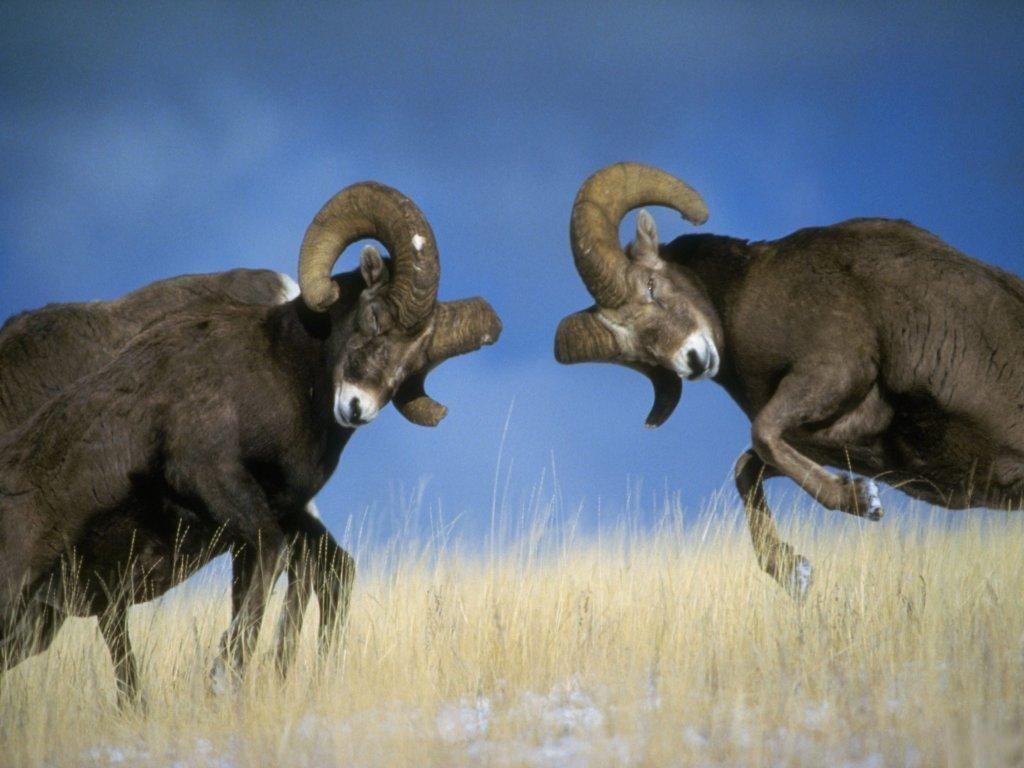 Rams Get Ready To Lock Horns Ramona Aquatics Big Horn Sheep