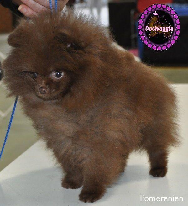 More On Pomeranian Puppy Red Pomeranian puppy