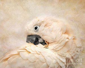 Parrot Photograph - Preening by Jai Johnson