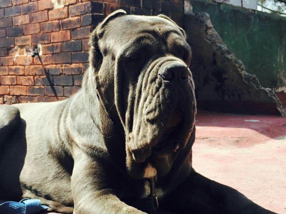 Kamilo mastiff dog breeds mastiff dogs big dogs