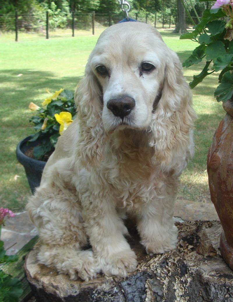 Petfinder Adoptable | Dog | Cocker Spaniel | Houston, TX | Princeton