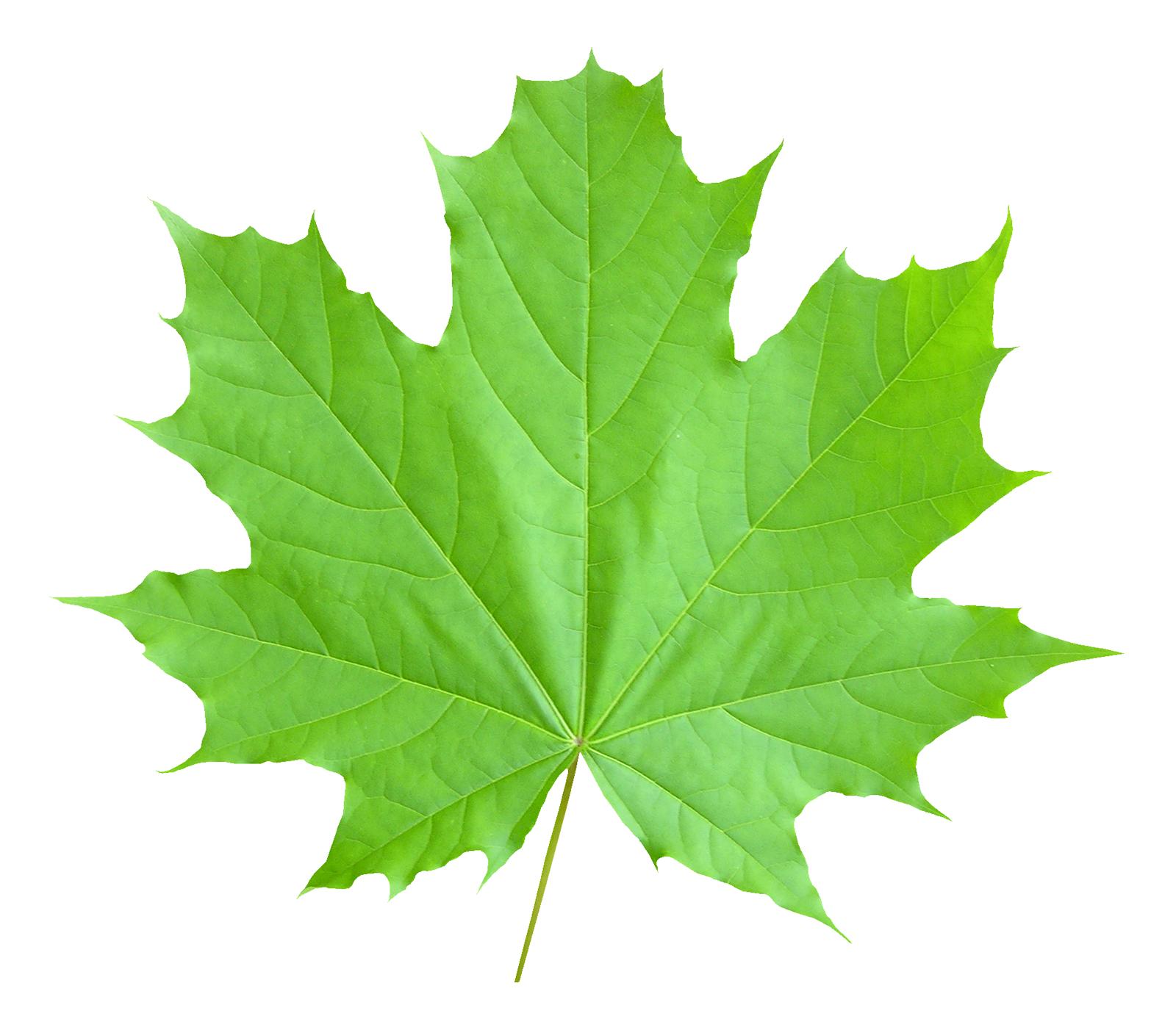 Maple Leaf Png Image Leaves Plant Leaves Maple Leaf
