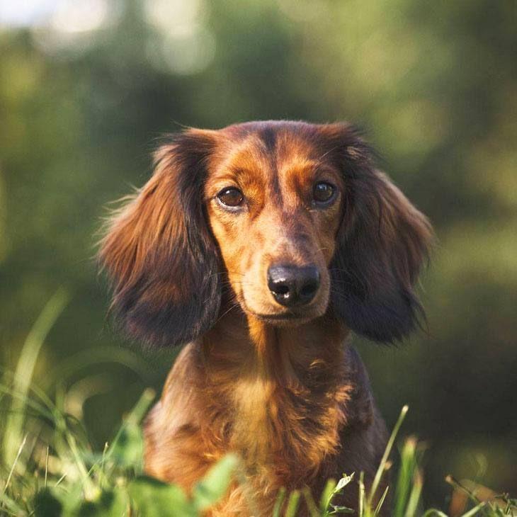 Dachshund Names Cute Male Female Doxie Naming Ideas Girl Dog