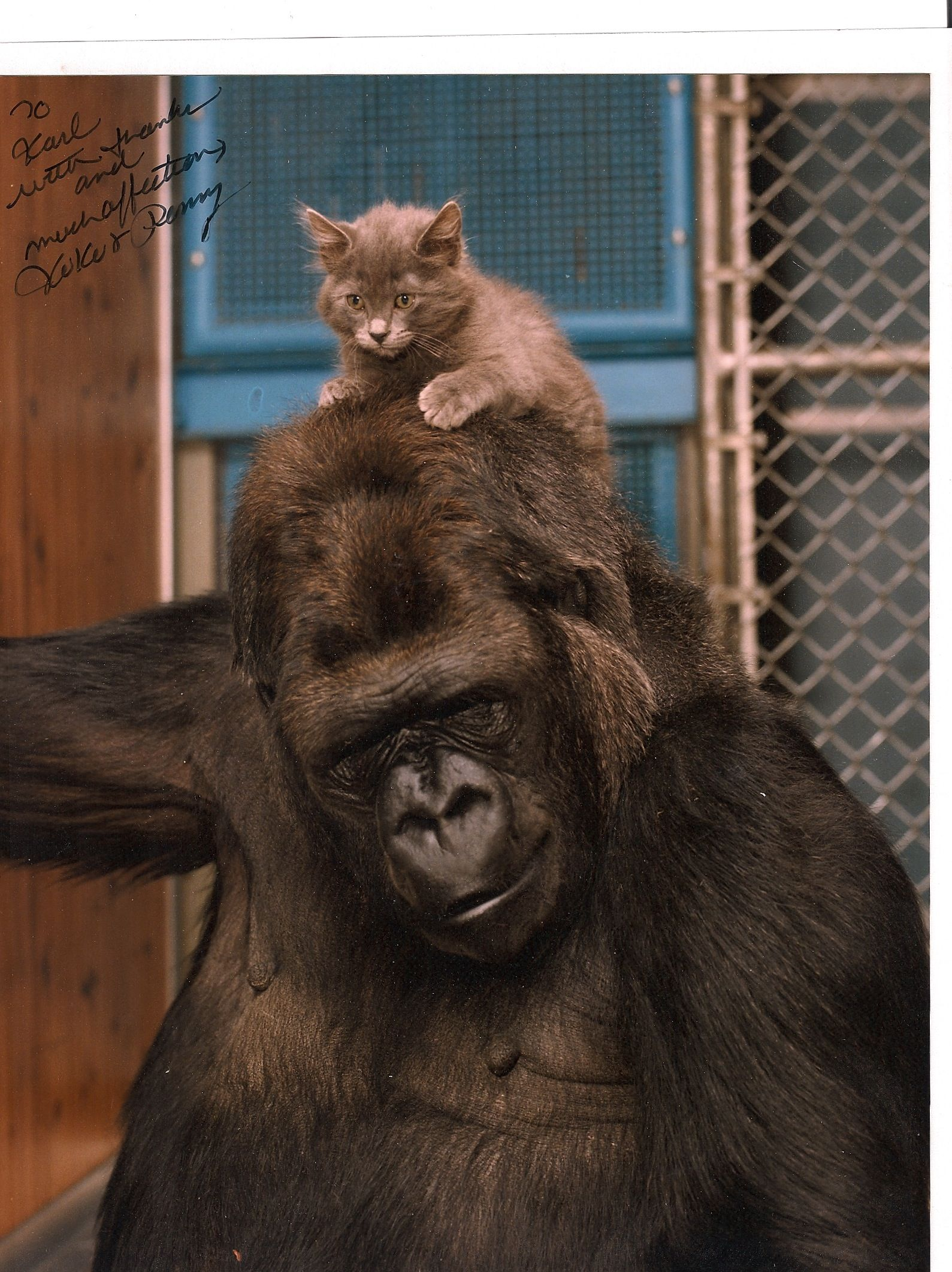 Koko Taking Care Of A Kitten Koko Kitten Gorilla Koko Gorilla