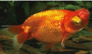 15 Awesome Different Types Of Goldfish With Pictures 2019 Goldfish Goldfish Types Goldfish Breeding