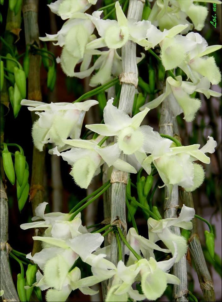 Dendrobium Aphyllum Orchidaceae Dendrobiinae By Lan Việt Nam X Orchidaceae Orchids Flowers